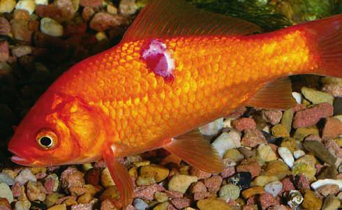 az aranyhal betegségei és kezelésük vörös foltok